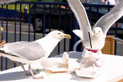 seagull control