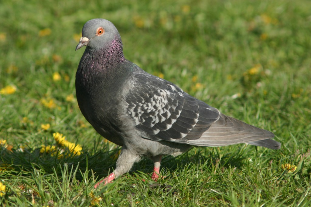 keep pigeons out of garden