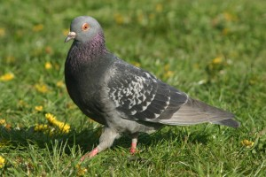 keep pigeons out of garden with pigeon deterrents