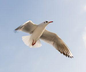 seagull pest control