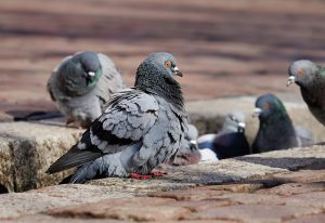 Pest control concerns: Do pigeons cause asthma?