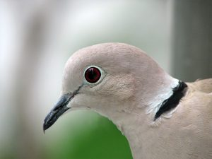 Why is the Collared Dove a pest?