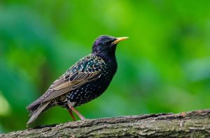 Starlings: A beautiful pest