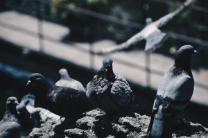 Could pigeon droppings be damaging your roof?