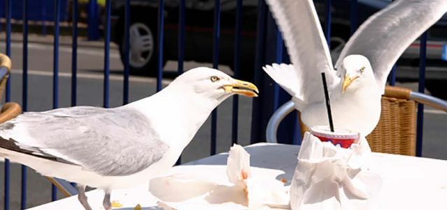 Pest Birds and Seagulls - bird control services