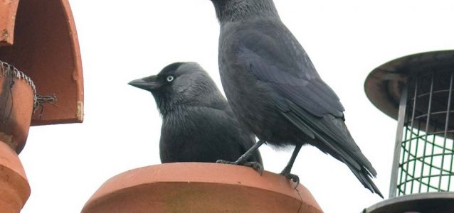 Jackdaw in chimney