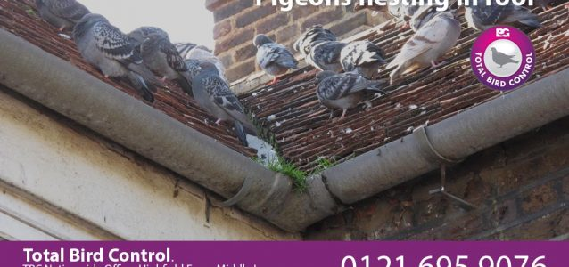pigeons nesting in roof uk